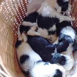 Woche 6_Tibet Terrier Welpen of Dog's Wisdom_2015 02