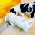 Woche 6_Tibet Terrier Welpen of Dog's Wisdom_2015 17