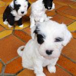 Woche 7_Tibet Terrier Welpen of Dog's Wisdom_2015 07