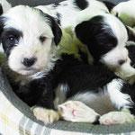Woche 6_Tibet Terrier Welpen of Dog's Wisdom_2015 07
