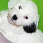 Woche 7_Tibet Terrier Welpe of Dog's Wisdom_2015_Hündin No 2_E' Lot-Taah 01