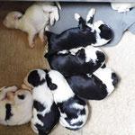 welpen_e-wurf of dogs wisdom_2015_3 woche_tibet terrier 05