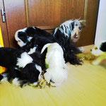 Woche 6_Tibet Terrier Welpen of Dog's Wisdom_2015 13