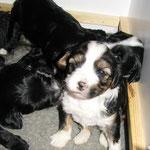 Tibet Terrier Welpen |Tibet Terrier of Dog´s Wisdom