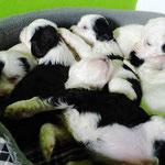 Woche 6_Tibet Terrier Welpen of Dog's Wisdom_2015 05