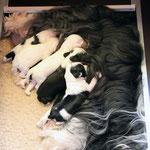 welpen_e-wurf of dogs wisdom_2015_2 woche_tibet terrier 18