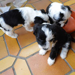Woche 7_Tibet Terrier Welpen of Dog's Wisdom_2015 12
