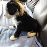 Woche 7_Tibet Terrier Welpen of Dog's Wisdom_2015 18