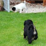 F-Wurf made of Dog's Wisdom_Hündinnen   Girls_5,5 Wochen   Weeks 02