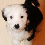 Woche 7_Tibet Terrier Welpe of Dog's Wisdom_2015_Hündin No 3_E' Croa-Ti-Aah 04