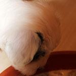 Woche 7_Tibet Terrier Welpe of Dog's Wisdom_2015_Hündin No 1_E' Shi-Kaah 07
