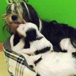 Woche 6_Tibet Terrier Welpen of Dog's Wisdom_2015 12