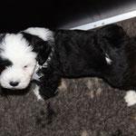 Woche 7_Tibet Terrier Welpe of Dog's Wisdom_2015_Rüde_E' Reeh-Kooh 02
