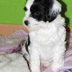 Woche 7_Tibet Terrier Welpe of Dog's Wisdom_2015_Rüde_E' Yuh-Mooh 05