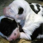 e-wurf of dogs wisdom_2015_1 woche_tibet terrier welpen 05