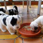 Woche 7_Tibet Terrier Welpen of Dog's Wisdom_2015 02