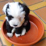 Woche 7_Tibet Terrier Welpen of Dog's Wisdom_2015 16