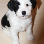 Woche 7_Tibet Terrier Welpe of Dog's Wisdom_2015_Rüde_E' Neeh-Kooh 01