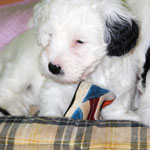Woche 7_Tibet Terrier Welpe of Dog's Wisdom_2015_Hündin No 2_E' Lot-Taah 03