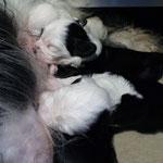 welpen_e-wurf of dogs wisdom_2015_3 woche_tibet terrier 06
