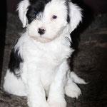Woche 7_Tibet Terrier Welpe of Dog's Wisdom_2015_Rüde_E' Ho-Shi-Kooh 02