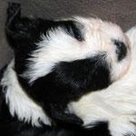 Tibet Terrier Welpen of Dog's Wisdom_2015_4 Woche 08