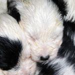 Tibet Terrier Welpen of Dog's Wisdom_2015_4 Woche 10