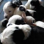 welpen_e-wurf of dogs wisdom_2015_3 woche_tibet terrier 08