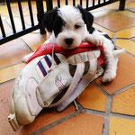 Woche 7_Tibet Terrier Welpen of Dog's Wisdom_2015 14