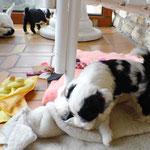 Woche 7_Tibet Terrier Welpen of Dog's Wisdom_2015 01