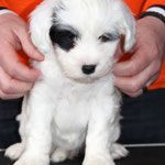Woche 7_Tibet Terrier Welpe of Dog's Wisdom_2015_Hündin No 1_E' Shi-Kaah 05