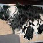 welpen_e-wurf of dogs wisdom_2015_2 woche_tibet terrier 04