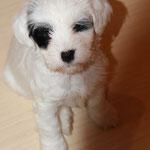 Woche 7_Tibet Terrier Welpe of Dog's Wisdom_2015_Hündin No 1_E' Shi-Kaah 09