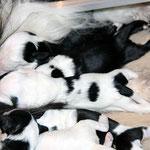 welpen_e-wurf of dogs wisdom_2015_2 woche_tibet terrier 08