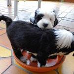 Woche 7_Tibet Terrier Welpen of Dog's Wisdom_2015 19