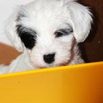 Woche 7_Tibet Terrier Welpe of Dog's Wisdom_2015_Hündin No 1_E' Shi-Kaah 01