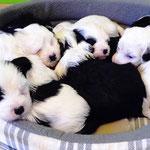 Woche 6_Tibet Terrier Welpen of Dog's Wisdom_2015 11