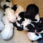 e-wurf of dogs wisdom_2015_1 woche_tibet terrier welpen 06