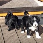 Tibet Terrier Welpen | Tibet Terrier of Dog´s Wisdom