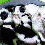 Woche 6_Tibet Terrier Welpen of Dog's Wisdom_2015 04