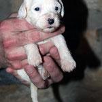 Hündin Black Ear 02_3 Woche_E-Wurf of Dog's Wisdom