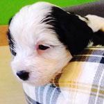 Woche 6_Tibet Terrier Welpen of Dog's Wisdom_2015 10