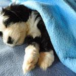 Woche 7_Tibet Terrier Welpen of Dog's Wisdom_2015 15