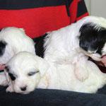 5 Woche 04_Tibet Terrier Welpen of Dog's Wisdom_2015