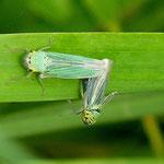 Binsenschmuckzikade (Cicadella viridis), Kopulation. Foto: Eva-Maria Kalok