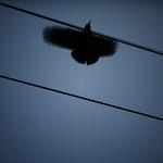 Crow-羽音