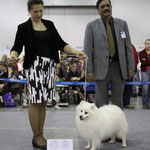 JASAM'S GOLDEN SON OF SILVER BOY - САС, CACIB, BOB.      Judge: C.V. SUDARSAN (INDIA)