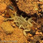 Androctonus australis hector morph instar III