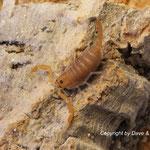 Uroplectes planimanus instar II