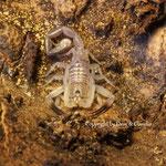 Rhopalurus bonetti instar III